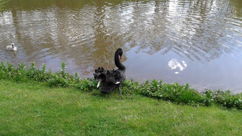 Černá labuť