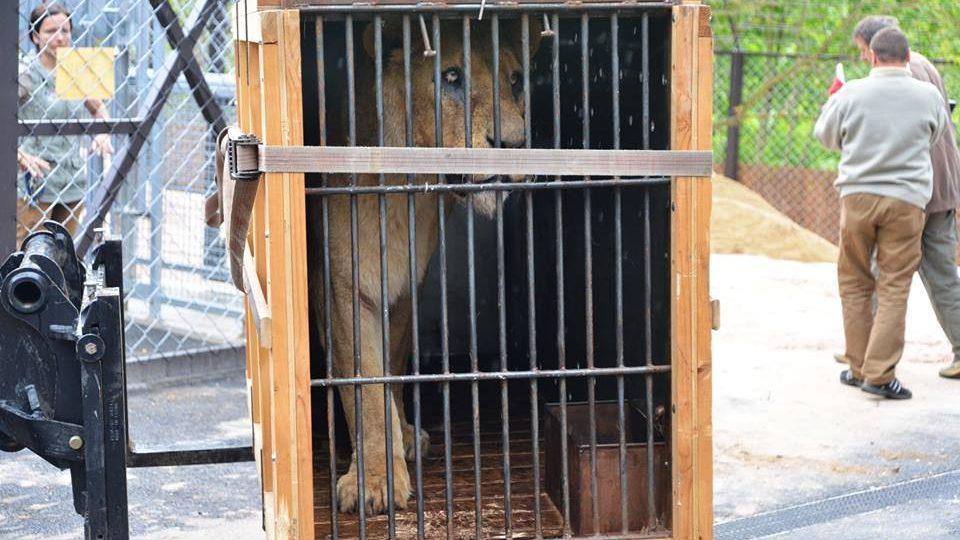 Královédvorští zoologové dovezli z britských ostrovů tři dvanáctileté lvy.