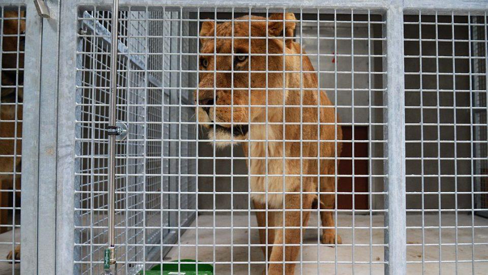 Královédvorští zoologové dovezli z britských ostrovů tři dvanáctileté lvy