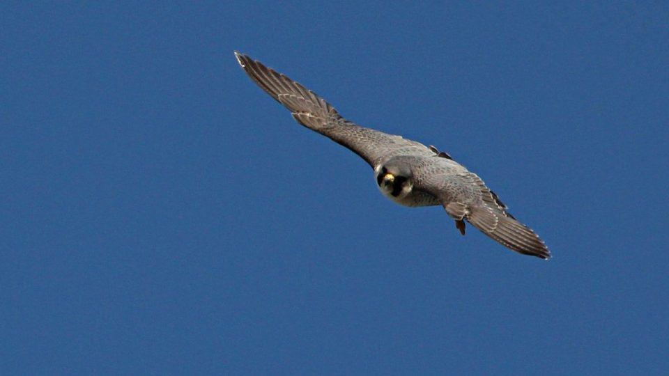 Dospělý sokol v letu