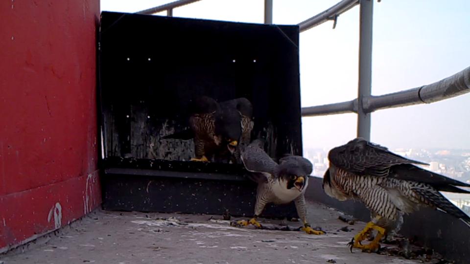 Obrana hnízdiště před cizím sokolem (fotopast)