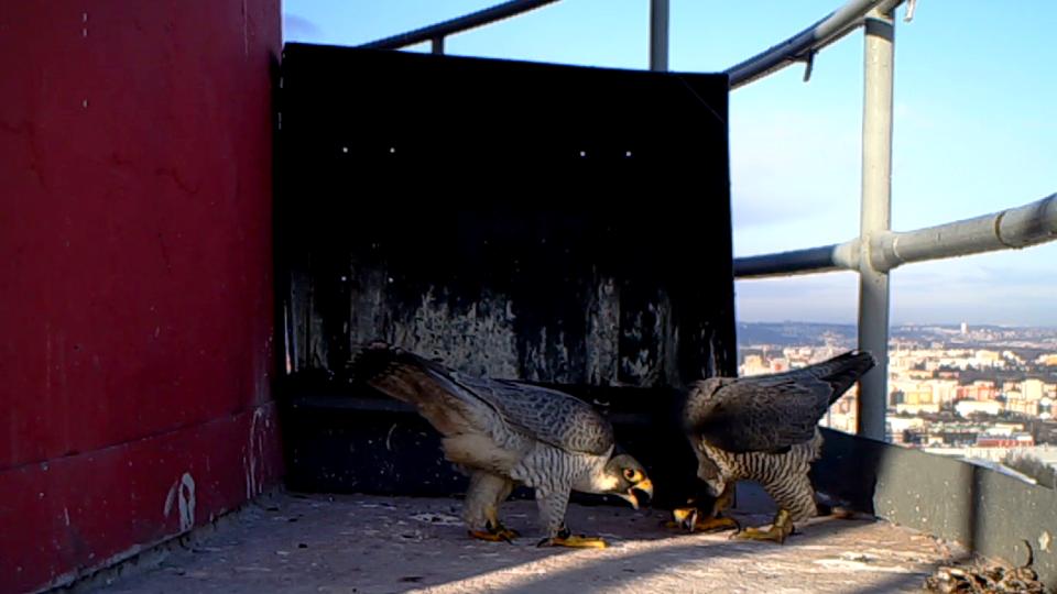 Sokolí pozdrav (fotopast)