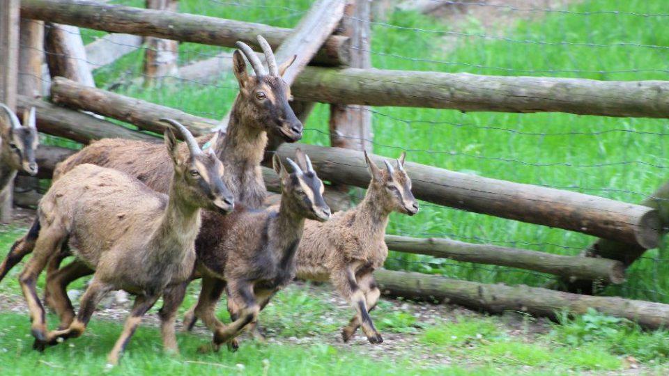 Kůzlata kozy bezoárové v areálu porodny
