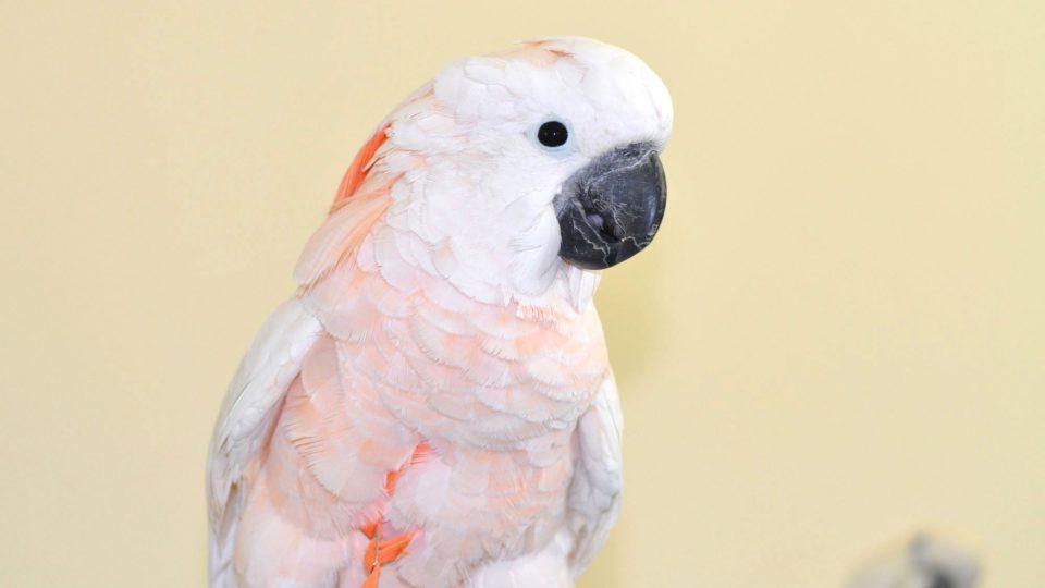 Papoušek