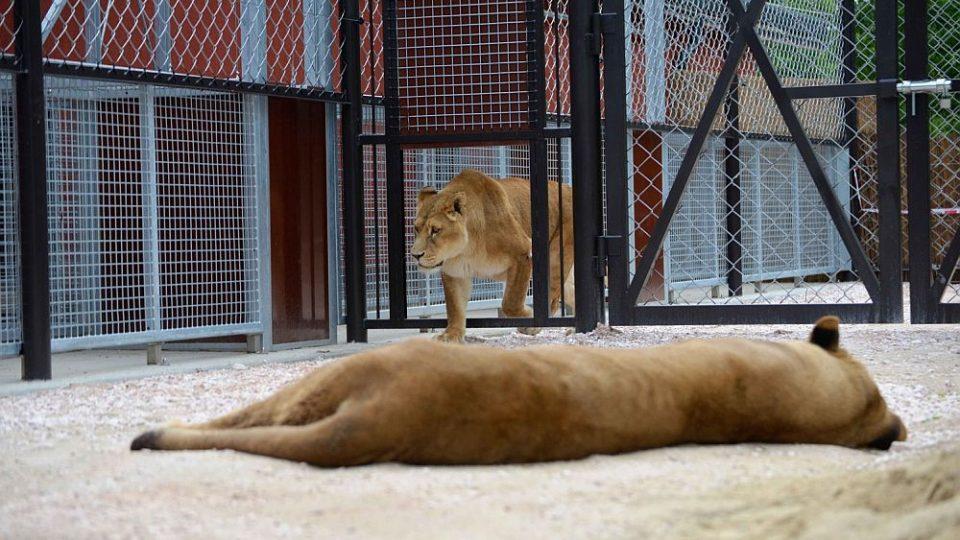 Spojování lvů do Lvího safari