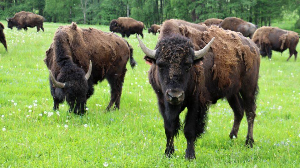 Bizoní stádo