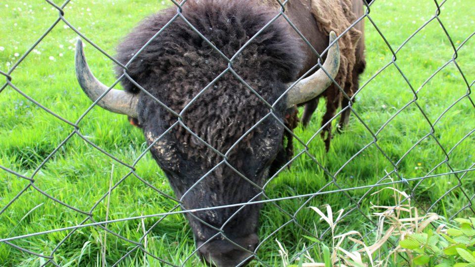 Pasoucí se bizon