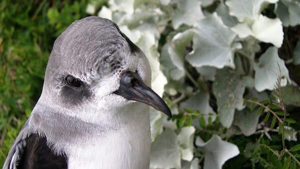 Buřňák madeirský (Pterodroma madeira)