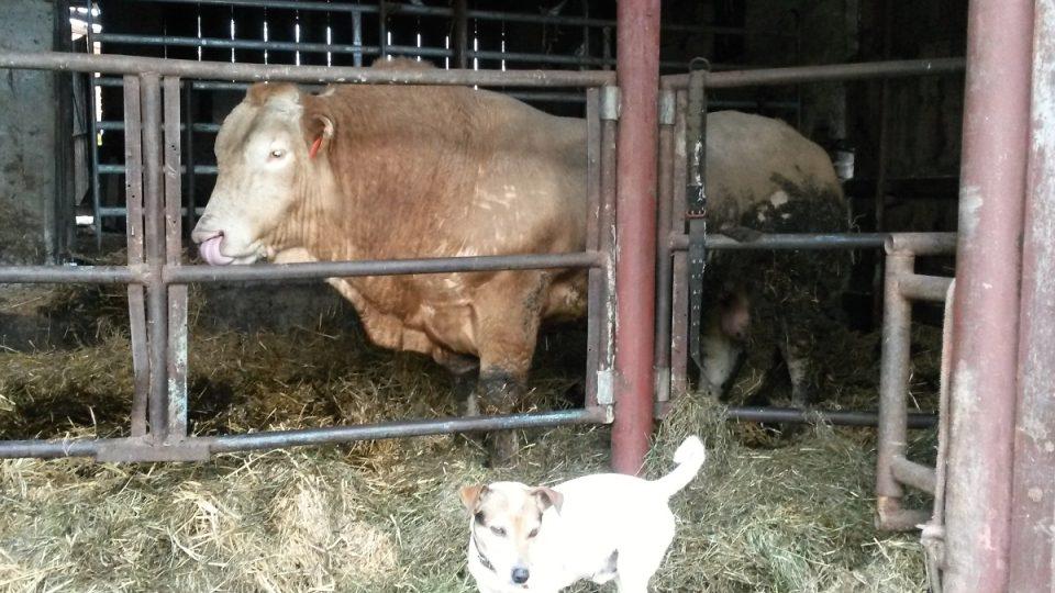Plemenný býk Bonnie