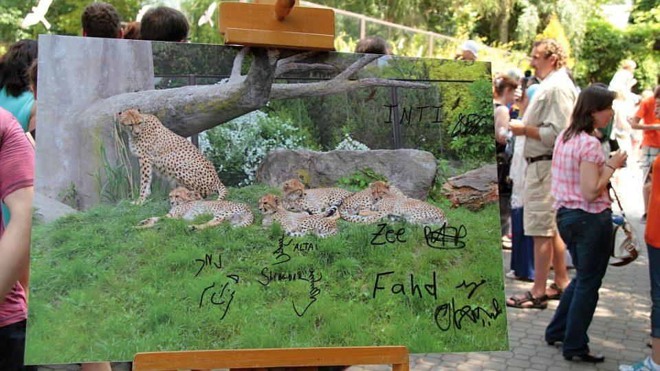 Vzácným paterčatům gepardů nadělil jména prakticky celý svět