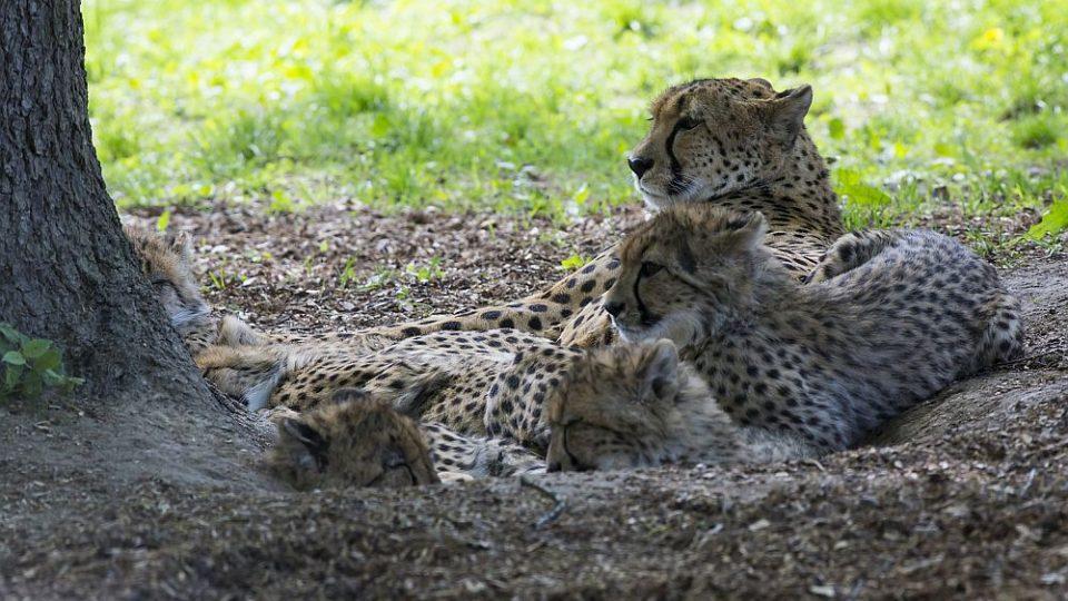 Gepardí rodinka v ZOO Dvůr Králové nad Labem