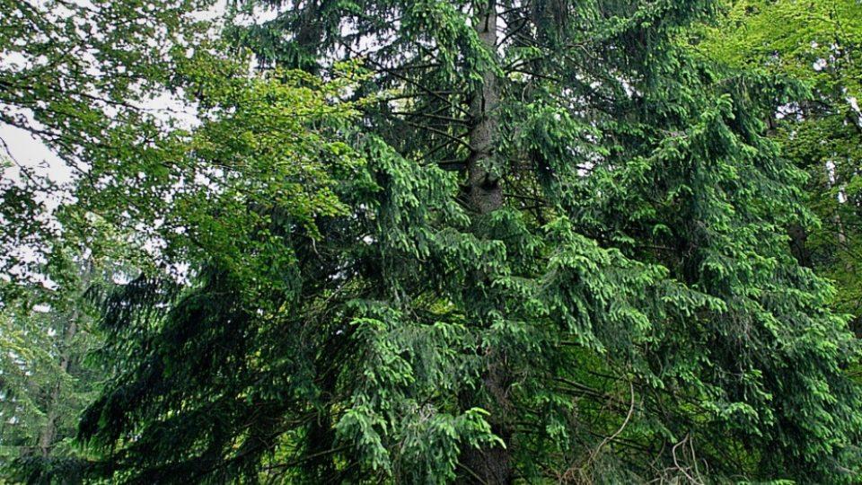 Ve zdejších lesích lze najít i skutečné velikány