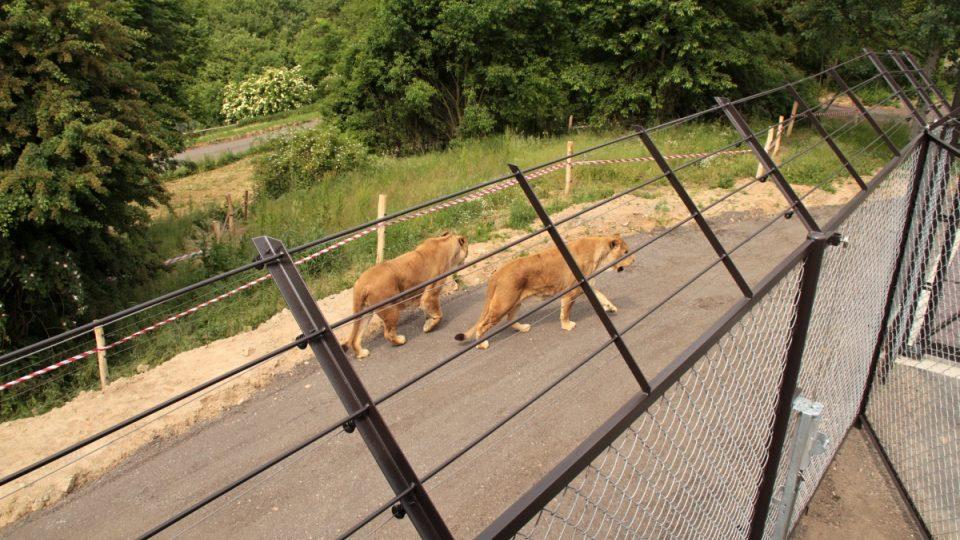 Lvy kontrolují pracovníci ZOO ze strážní věže
