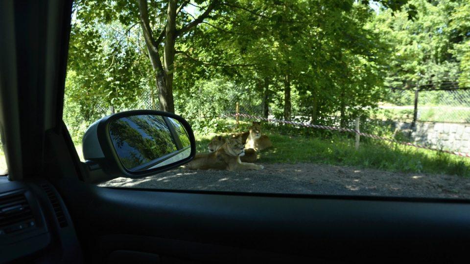 Z auta je možné pohodlně pozorovat lvy
