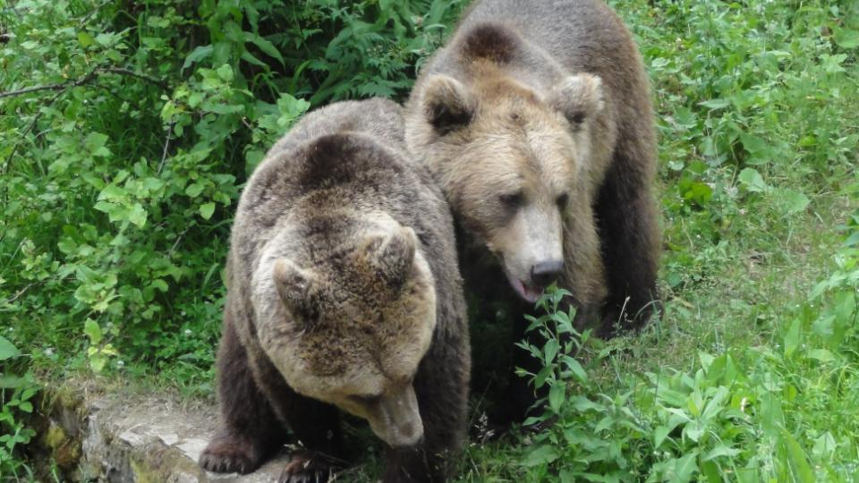 Bývalí tančící medvědi se množit nemůžou