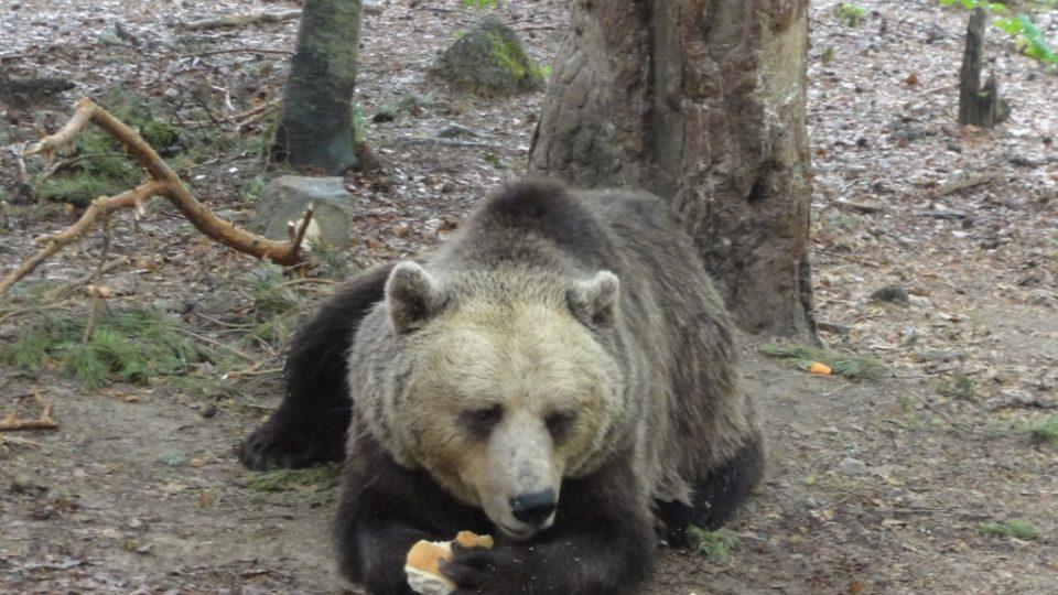 Medvědáři svým svěřencům vytrhali nebo obrousili zuby, strava proto sestává spíše z chleba a zeleniny