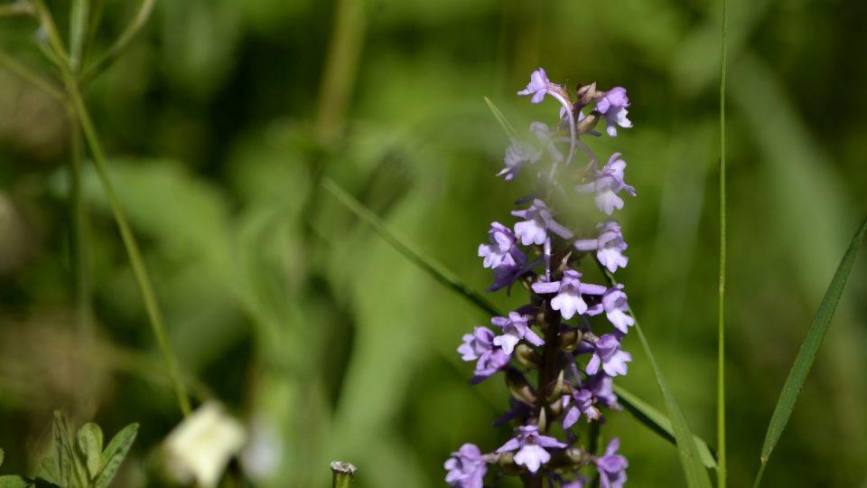 Orchidej pětiprstka
