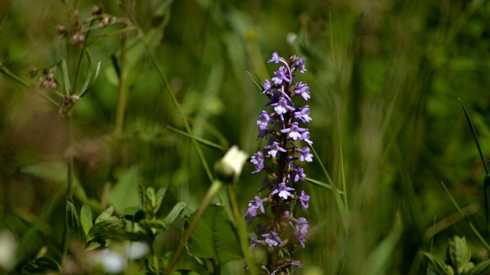 Orchidej pětiprstka žežulník