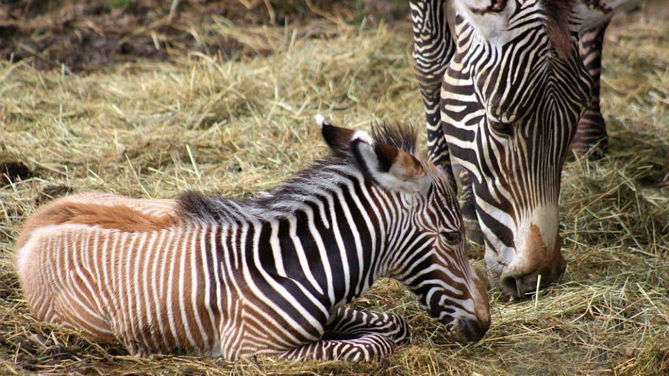 V pruhované porodnici ZOO Dvůr Králové nad Labem bylo v červenci rušno - na svět tam přišlo 5 zebřích mláďat. Jsou to 3 samečkové a 2 samičky. A v přírodě těch nejohroženějších - zeber Grévyho.
