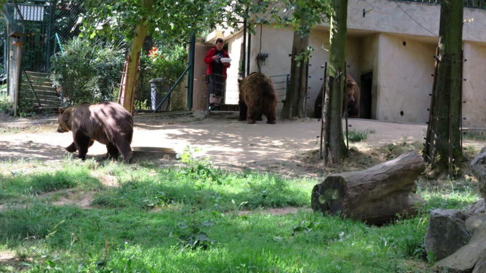 Medvědi hned běží k ošetřovatelce, když nastal čas svačiny