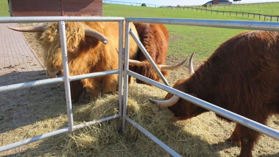 Skotský náhorní skot highland cattle