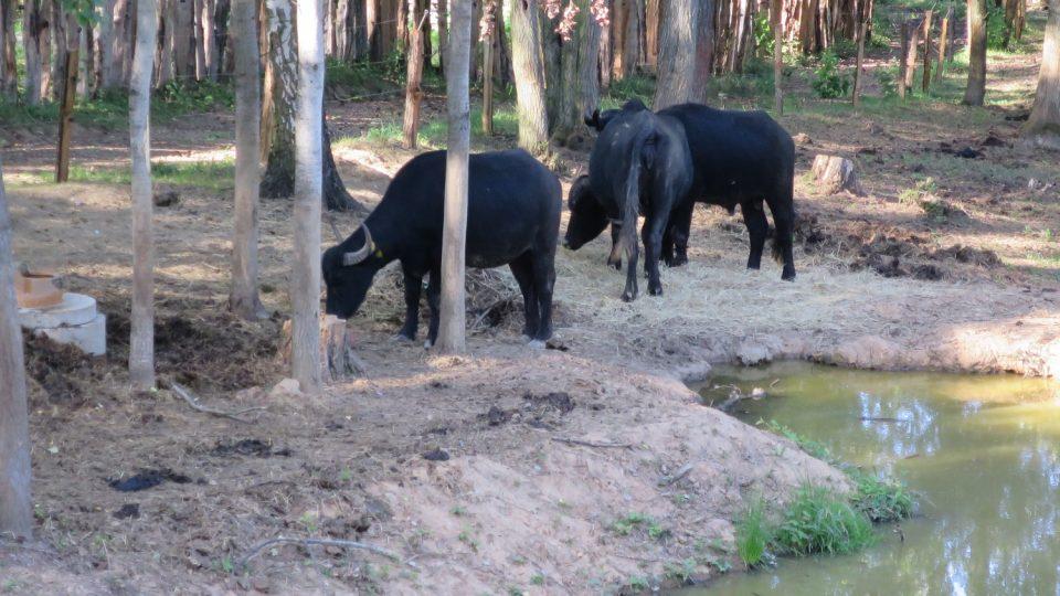 Vodní buvoli