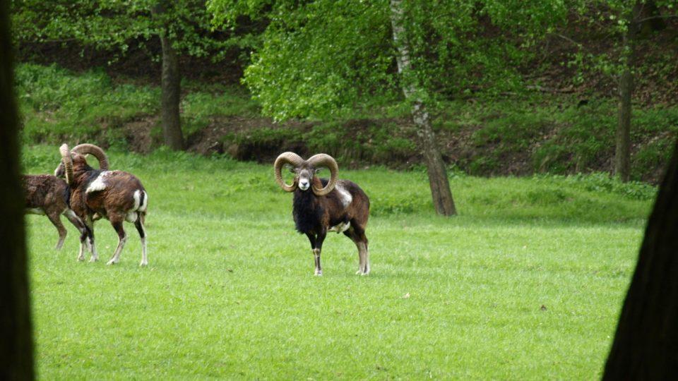 Muflony můžete pohodlně sledovat z pozorovatelny