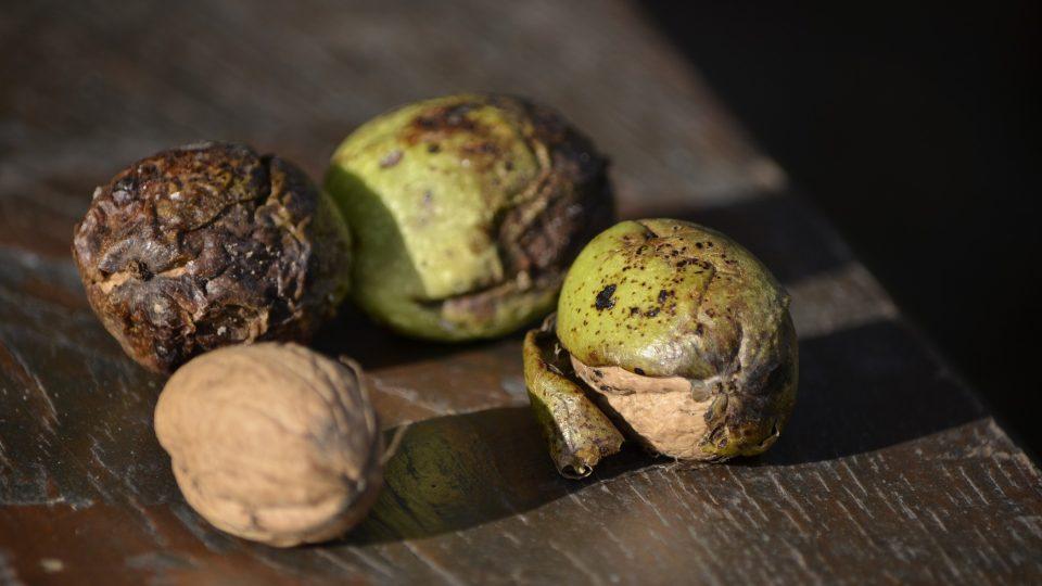 Vlašské ořechy prospívají nervové soustavě, zlepšují kardiovaskulární činnost, snižují cholesterol