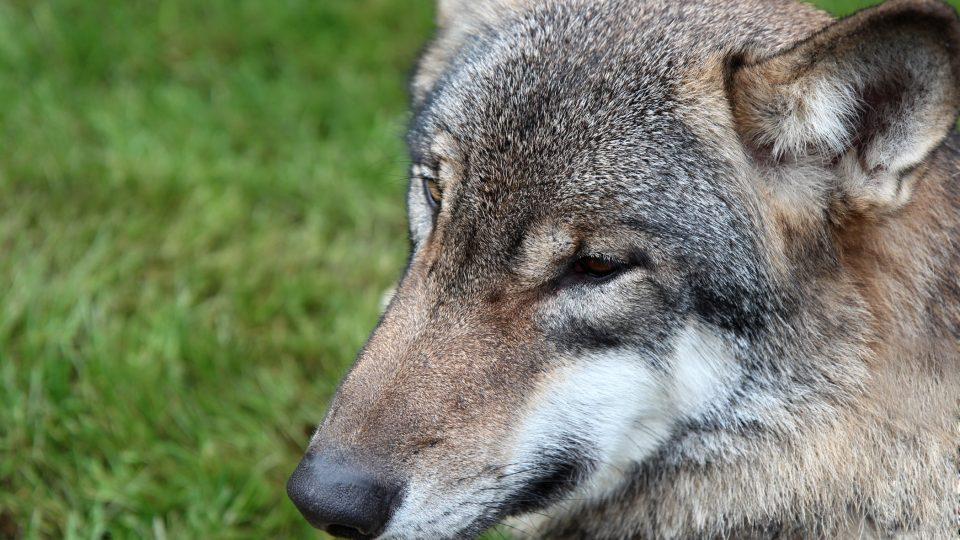 Nedaleko šumavského Srní mohou lidé pozorovat vlky