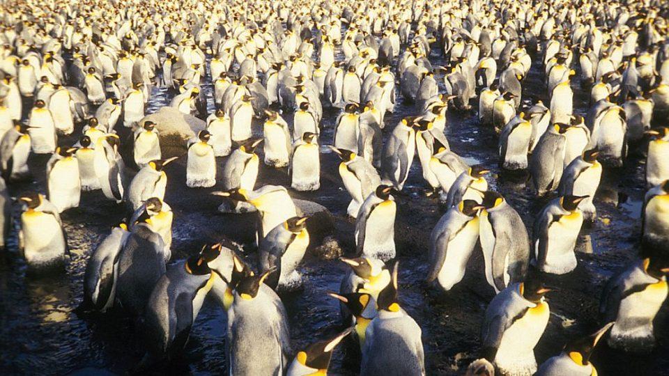 Tučňáci na cestách mořeplavce a dřevorubce Rudolfa Krautschneidera