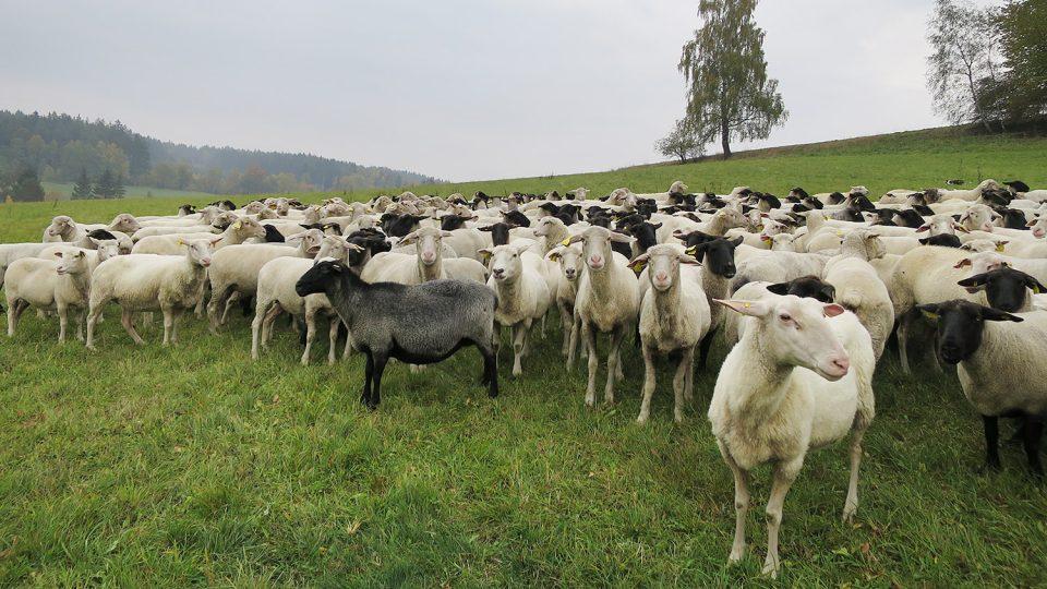 Ovce na pastvě nad Koclířovem