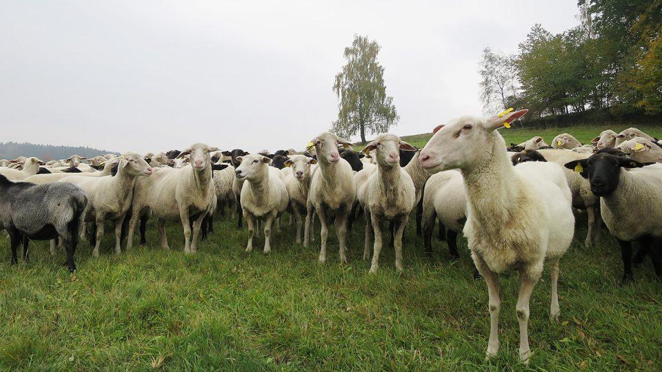 Ovce na pastvině