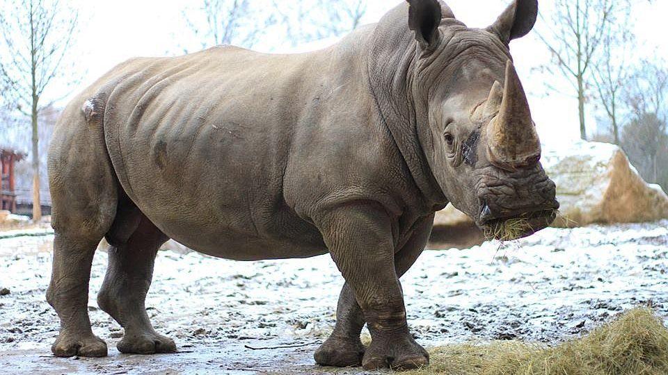 ZOO Dvůr Králové má nový přírůstek - samce nosorožce tuponosého jižního původem z  Afriky