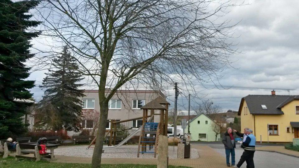 Kanadský javor přivezený z Montrealu roste v Krmelíně od roku 1976