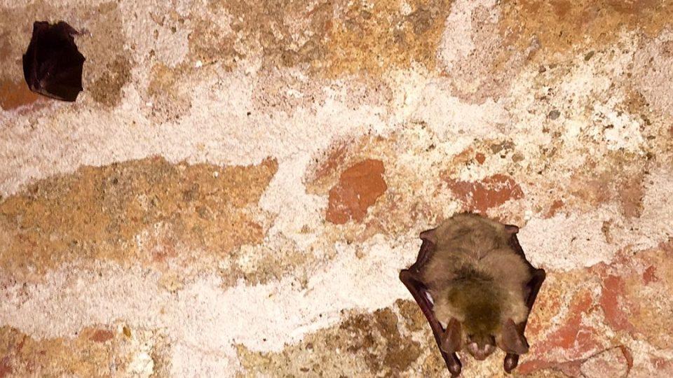 Josefovské podzemí nepatří v zimě turistům, ale stovkám savců z řádu letounů - netopýrům