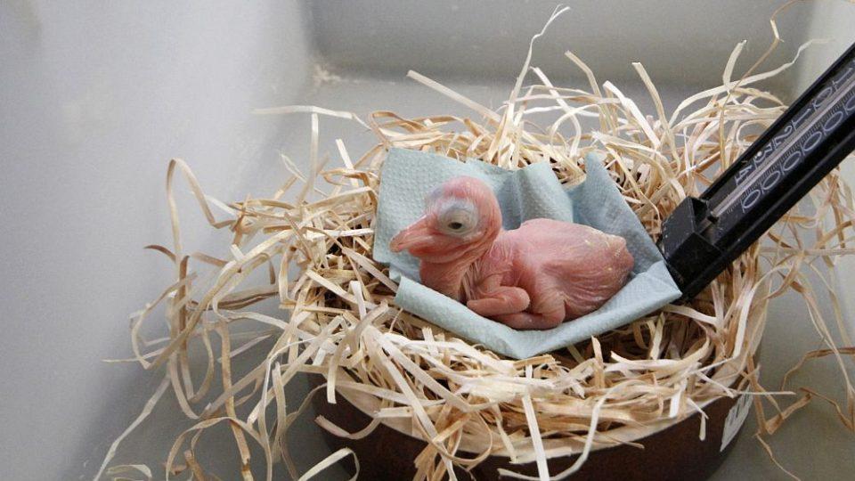 """ZOO Dvůr Králové nad Labem provozuje jednu z největších a nejúspěšnějších ptačích """"porodnic"""" v Evropě. Jsou nejlepší chovatelé pelikánů v Evropě"""