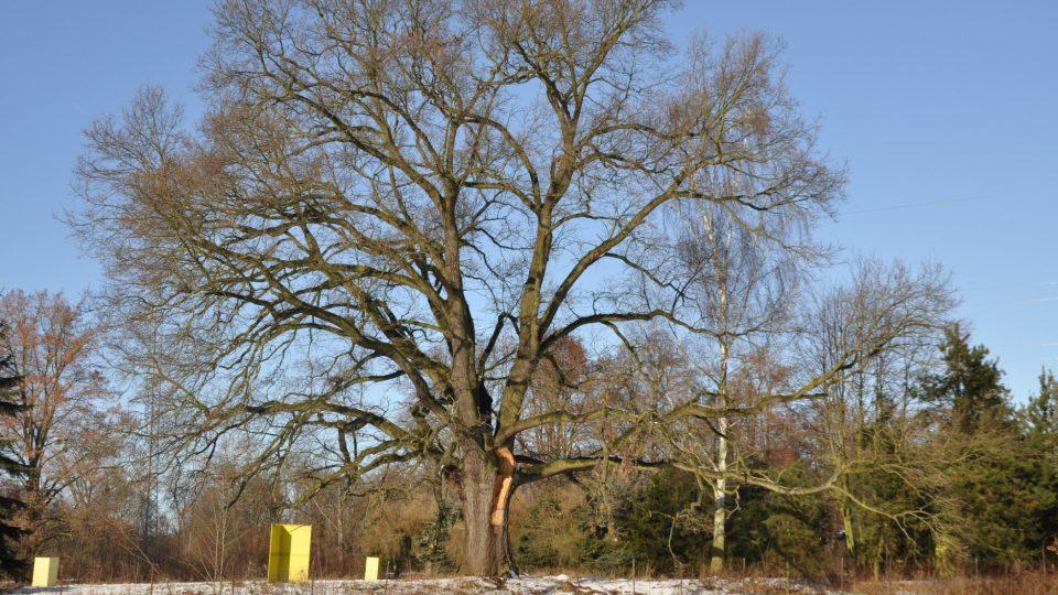 Státem chráněný dub - nejkrásnější strom Přeloučska