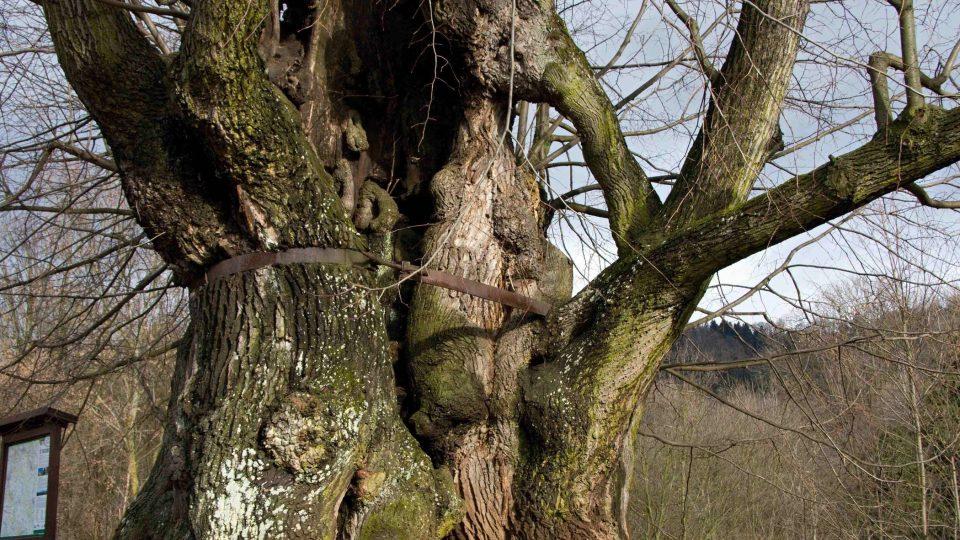 Tatobity - tisíciletá lípa