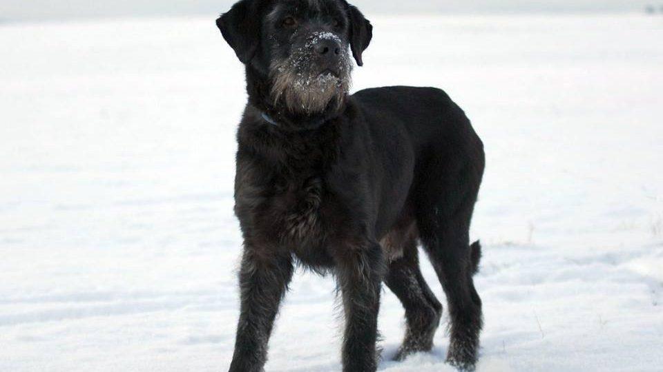 Štístko, asi čtyřletý pes, údajně kříženec knírače a briarda