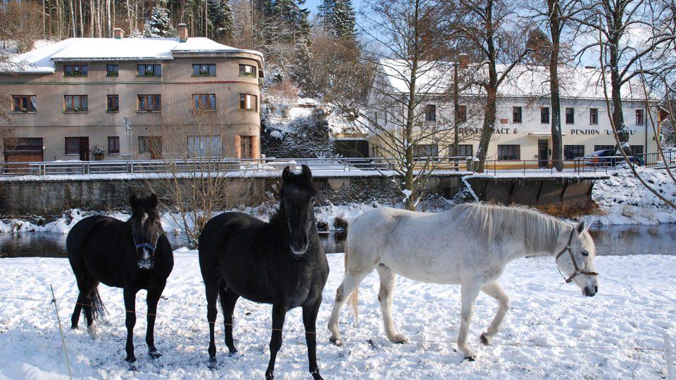 Koně na břehu řeky Divoké Orlice