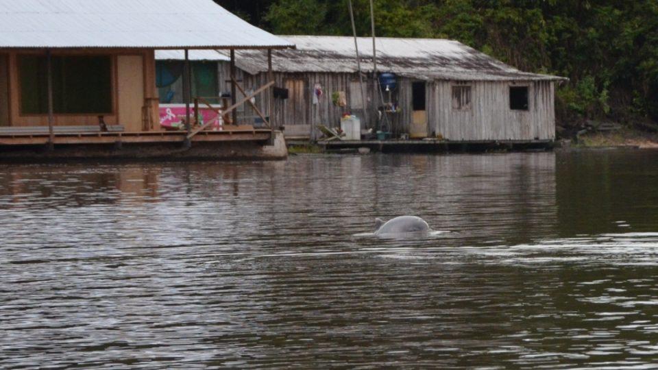 Ve vodách v amazonské oblasti žijí sladkovodní delfíni