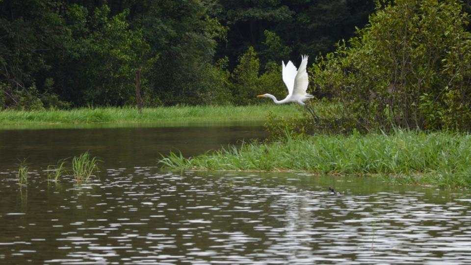 Ladný let volavky bílé