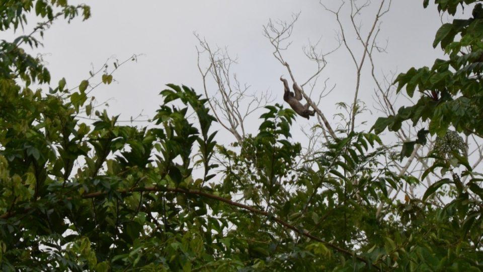 Lenochod vysoko ve větvích stromů