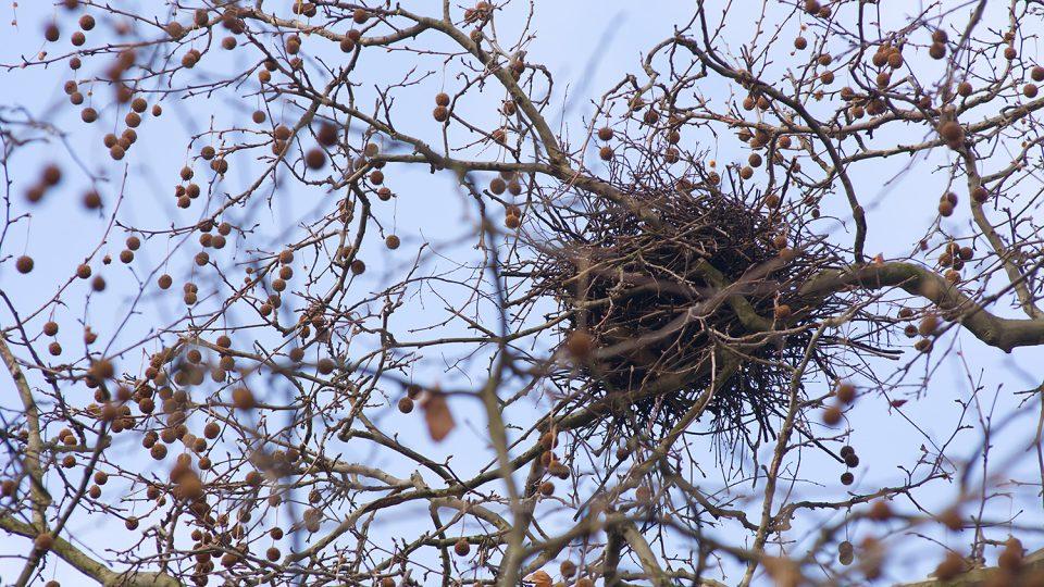 Havraní hnízdo na platanu