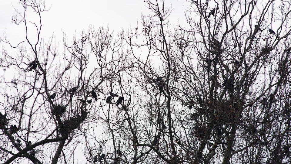 V parku Střelnice v Chrudimi mají havrani klid. Jsou jich tam tisíce