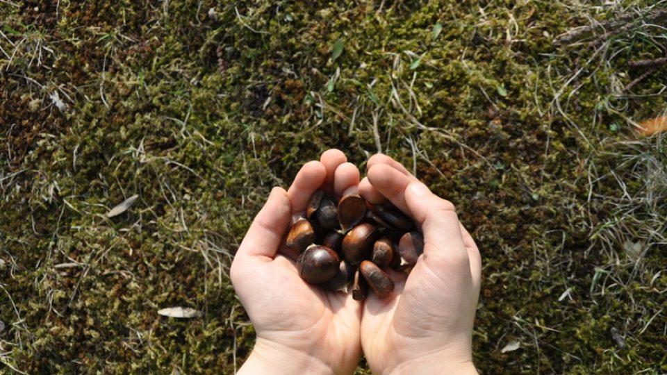 Plody jedlých kaštanů sbírají na podzim děti z místní školy