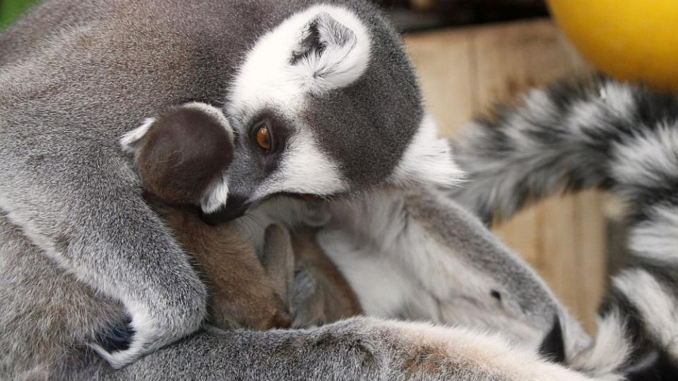 V ZOO Dvůr Králové oslaví Velikonoce se čtyřmi novými mláďaty lemurů kata