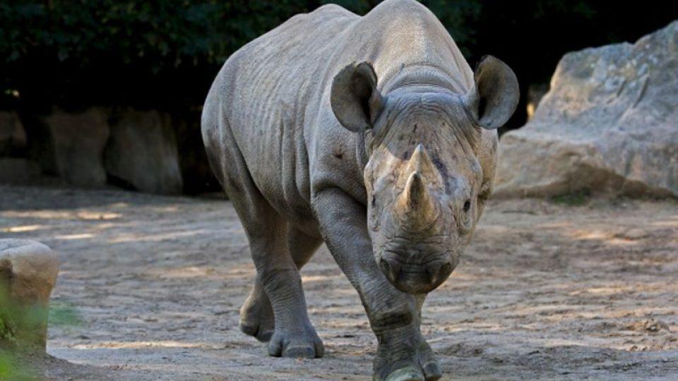 Eliška se vydá na cestu! ZOO Dvůr Králové pošle dalšího nosorožce do rezervace v Tanzanii