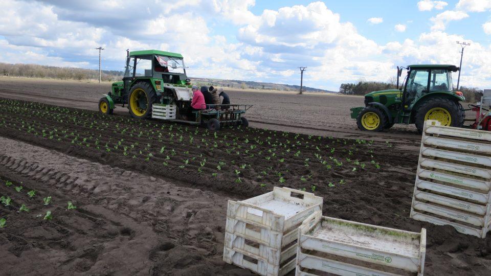 Šťastné saláty pěstují u Mělníka, mezi jinými i lahodnou odrůdu salanova