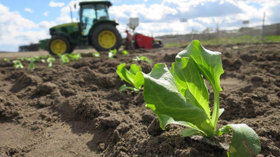 Expertů na saláty podle Štastných přibývá. Oni sami hospodaří na zhruba patnácti hektarech, většinou písčité půdy